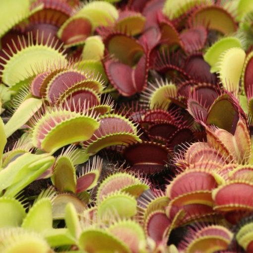 Boutique - Dionaea musicpula