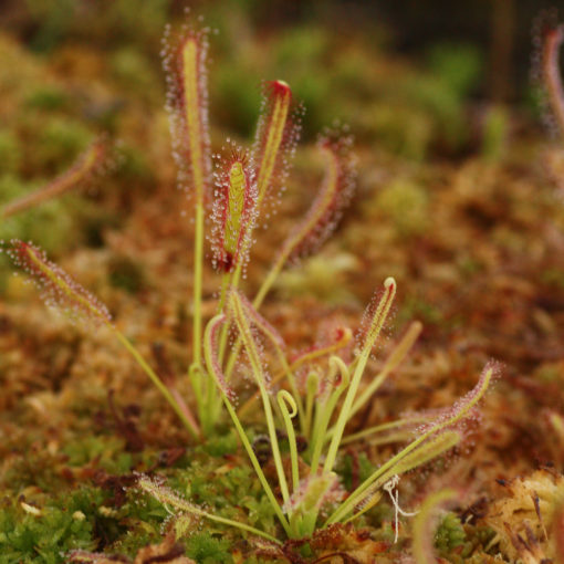 Boutique - Drosera capensis