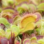 Dionaea musciupula