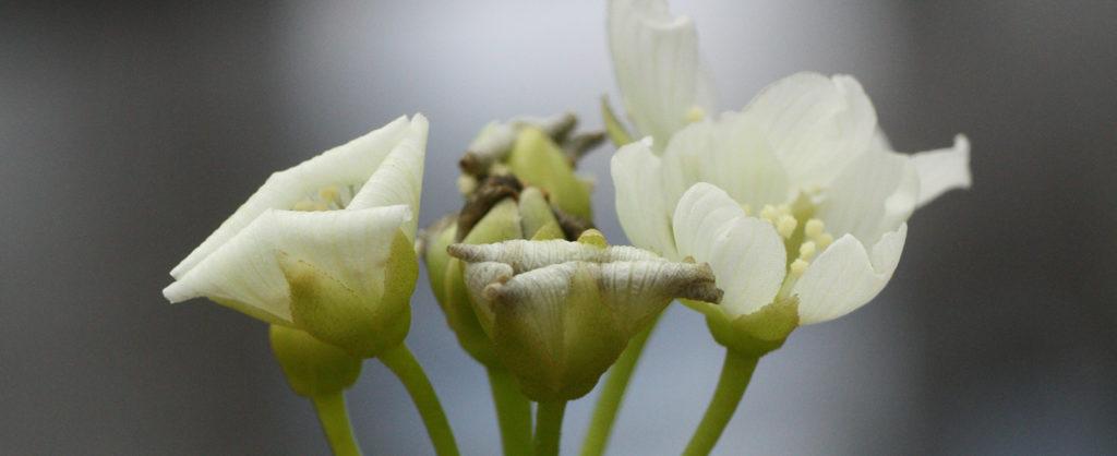 Fleur de dionaea