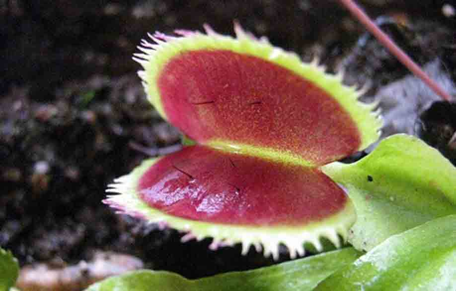 Dionaea Sawtooth