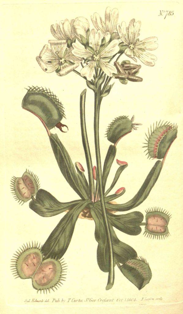 Schema Dionaea musciupula