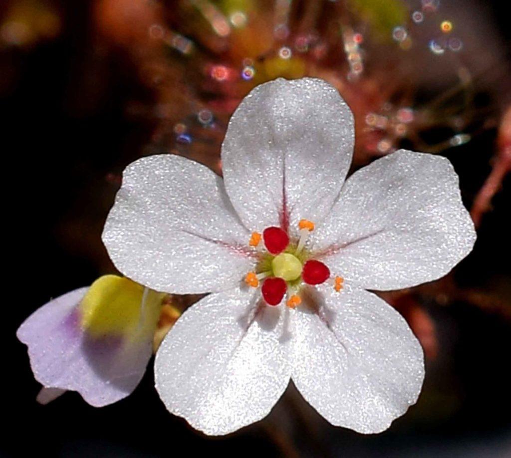 Fleurs de Drosera
