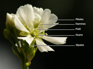 Schema d'une fleur de dionaea