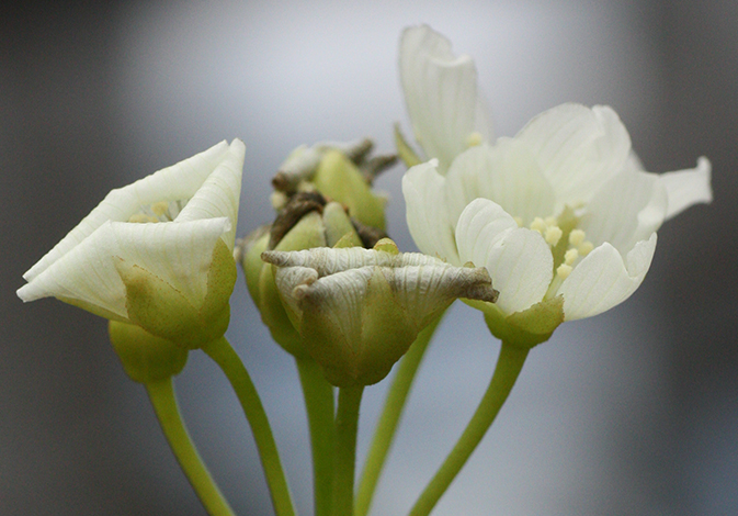 fleur pollinisée