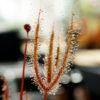 Boutique - Drosera binata feuilles cuivrées