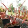 Boutique - Drosera capensis