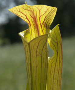 Boutique - Sarracenia Hugh Jampton