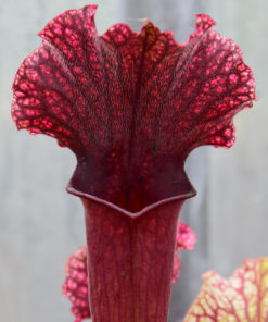 Boutique - Sarracenia Judith Hindel