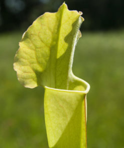 Boutique - Sarracenia Mitcheliana vert