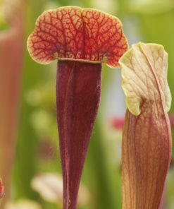 Boutique - Sarracenia barba