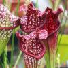Boutique - Sarracenia bella