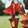 Boutique - Sarracenia flava — « Giant red tube apalachicola »