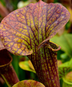 Boutique - Sarracenia flava var. ornata -- Super ornata