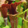 Boutique - Sarracenia flava var. ornata -- Super ornata