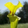 Boutique - Sarracenia flava var. rugelii — MK F100