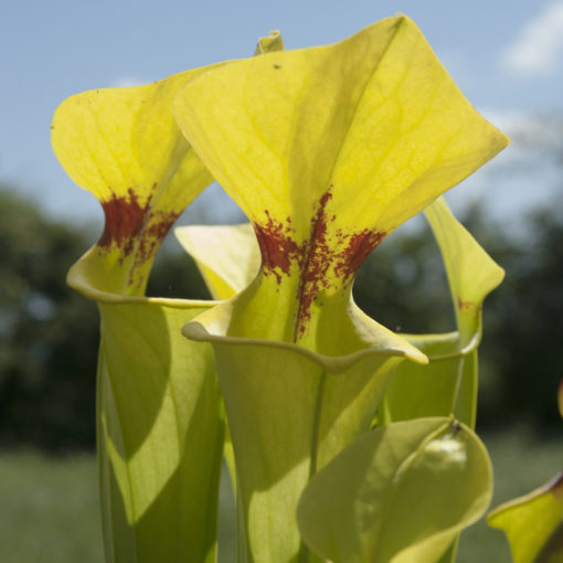 Boutique - Sarracenia flava var. rugelii giant — Ex plantara