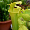 Boutique - Sarracenia flava. maxima -- Giant form (Maxima Green)