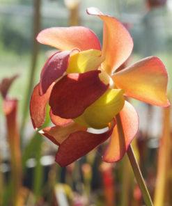 Boutique - Sarracenia leucophylla bella