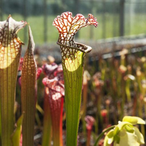 Boutique - Sarracenia leucophylla schnell gost