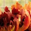 Boutique - Sarracenia marron