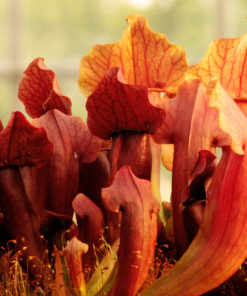 Boutique - Sarracenia marron