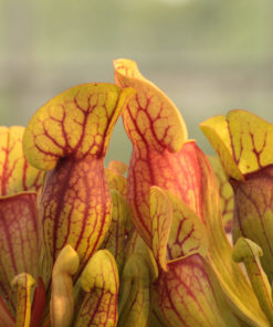 Boutique - Sarracenia purpurea
