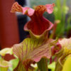 Boutique - Sarracenia reptilian rose