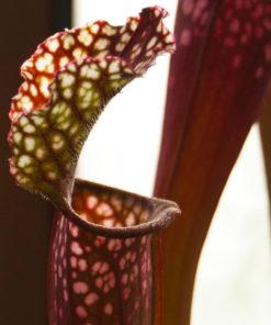 Boutique - Sarracenia stevensii