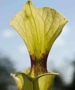 Boutique - Sarracenia x moorei — « brook's hybrid »