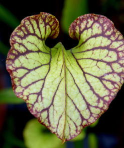 Boutique - Sarracenia x moorei — heavy veined