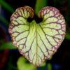 Boutique - Sarracenia x moorei — heavy veined