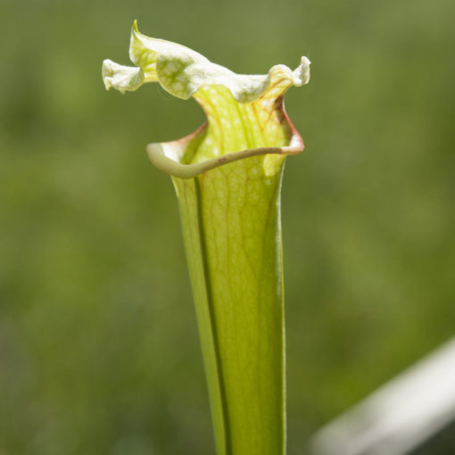 Boutique - Sarracenia x moorei — moorei all red x moorei typical