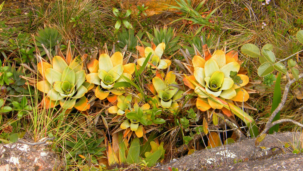 Différentes genres de plantes carnivores - Brocchinia reducta