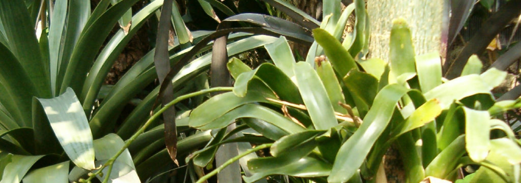 Différentes genres de plantes carnivores - Catopsis