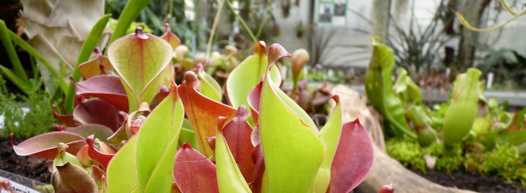Différentes genres de plantes carnivores - Heliamphora