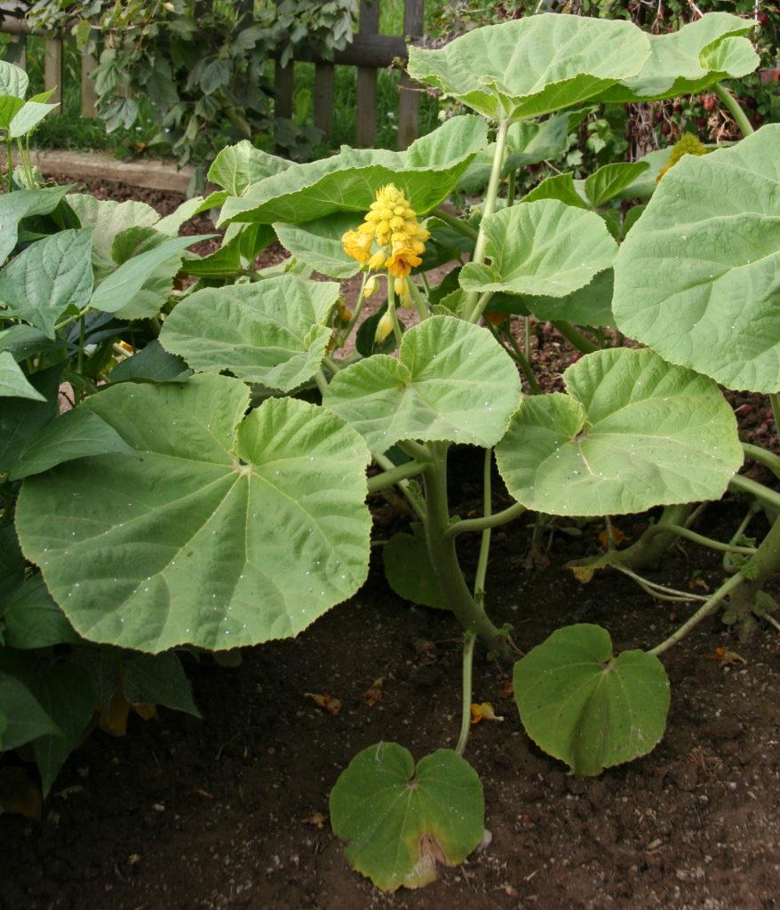 Différentes genres de plantes carnivores - Ibicella