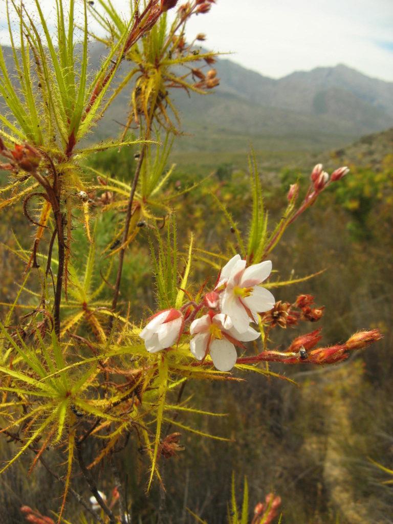 Différentes genres de plantes carnivores - Roridula