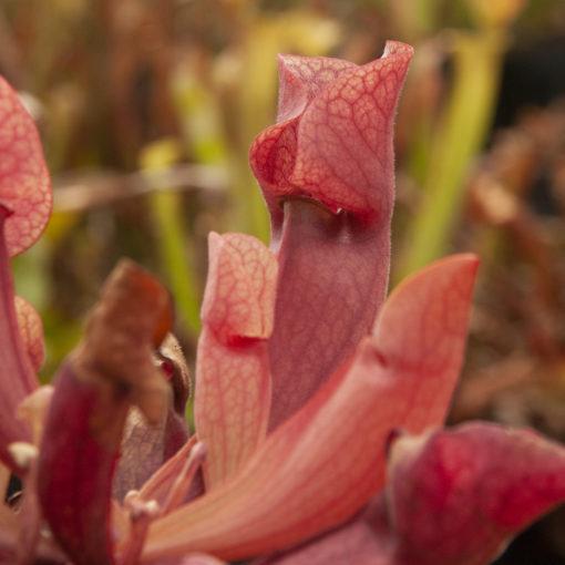 Boutique - Sarracenia purpurea — lipless
