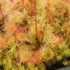 Boutique - Drosera brevifolia