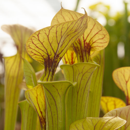 Sarracenia flava var. cuprea — Very heavy veined, large pitchers with strong veins