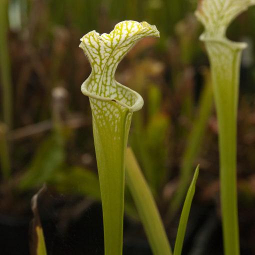 Sarracenia leucophylla — form viridescent